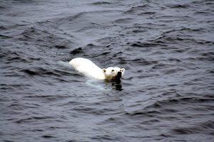 polar_bear_arctic