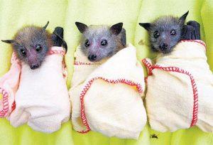 baby-bats