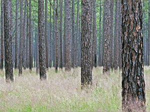 longleaf-pine_001