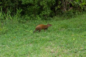 An agouti walks in the grass on campus