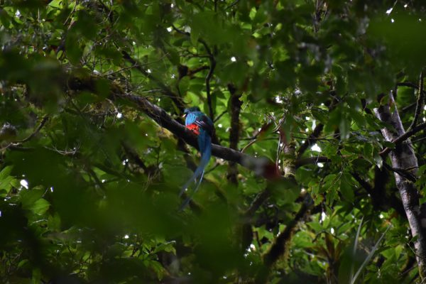 A red and blue bird called a quetzal sits in the trees in the Monteverde Cloud Forest
