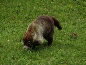 A coati walks through the grass