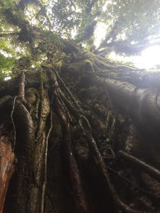 A strangler fig tree stands in the forest