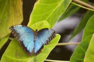 A blue morpho butterfly sits on a green leaf
