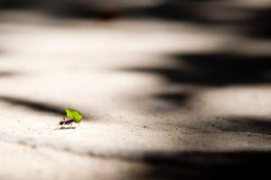 A leaf cutter ant carries a leaf as it walks